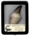 Diente de Mosasauro Fosil